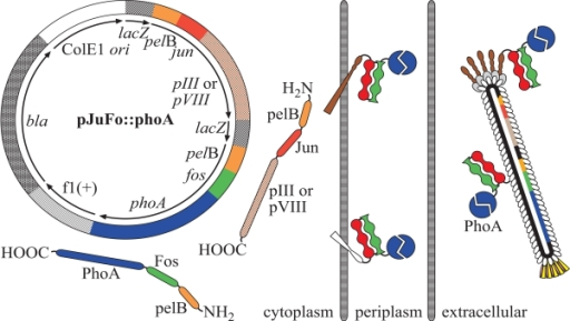 Genetic elements of the pJuFo vector and proposed mechanism for the assembly of PhoA-phagemids. In the present work PhoA was displayed either as pIII or pVIII fusion protein via the heterodimeric Jun-Fos linker on the surface of filamentous phagemid