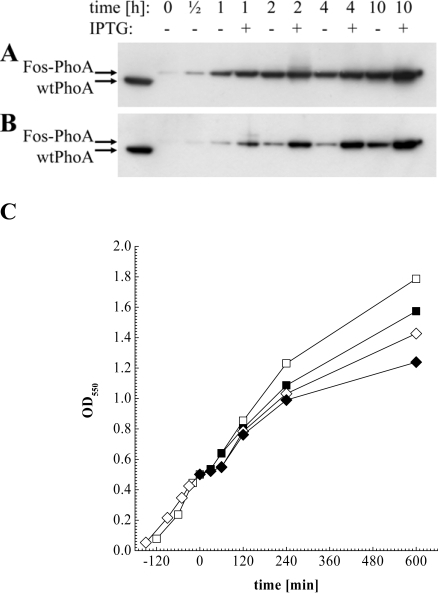 Western blot analysis of periplasmic extracts directly before, ½ h, 1 h, 2 h, 4 h and 10 h after helper phage superinfection, and of soluble wtPhoA (left lane). (A) Fos-PhoA detected in XL1-Blue harbouring pJuFoIII::phoA without (-) and in the presence of 1 mM IPTG (+). (B) Fos-PhoA detected in XL1-Blue harbouring pJuFoVIII::phoA grown without (-) and in the presence of 1 mM IPTG (+). (C) Growth rate of XL1-blue/pJuFoIII::phoA (squares) and XL1-blue/pJuFoVIII::phoA (circles) grown without (open symbols) and with 1 mM IPTG (solid symbols)