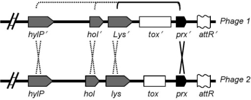 Suggested model for toxin mobilization between phages, reprinted from Aziz et al. (19). Recombination hot spots on both sides of the toxin genes are shown: one is prx (paratox), and the other may be lys (lysin), hol (holin), or hylP (phage hyaluronidase).