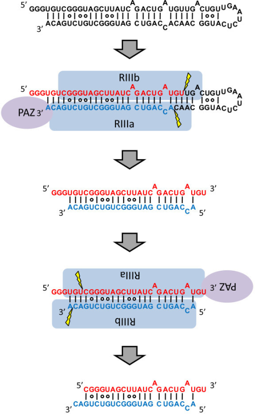 model of the two step processing of hairpin rna with 5 open i RNA Timeline model of the two step processing of hairpin rna with 5 overhangs rna