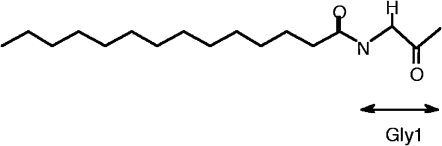 Chemical structure of the myristoyl moiety. A myristoyl group binds to an N-terminal glycine residue covalently through an amide linkage.