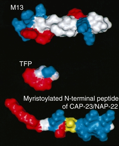 A comparison between the canonical CaM-binding peptide, TFP, and the myristoylated mC/N9. A space-filling model of the M13 peptide derived from skeletal muscle MLCK in a helical conformation (top); the hydrophobic amino acid residues that play important roles in the CaM interaction are shown in red, and the positively charged amino acid residues are shown in blue. TFP (middle); the hydrophobic aromatic group is shown in red, and the positively charged group is shown in blue. The myristoylated N-terminal peptide of CAP-23/NAP-22 (myr-GGKLSKKKK) in an elongated structure (bottom); the myristoyl moiety and Leu4 are shown in red; the positively charged amino acid residues are shown in blue, and one phosphorylatable amino acid residue, Ser5, is shown in yellow. All of these molecules include the basic amphiphilic natures (basic group—blue, hydrophobic group—red) in them.