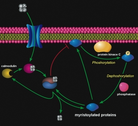 Scheme of reversible translocation of myristoylated proteins between the membrane and cytoplasmic fractions.