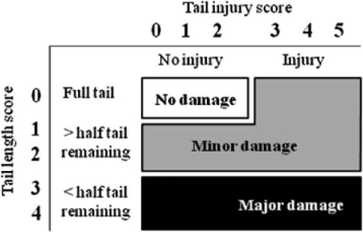 Suggested tail damage scale classes (no, minor and major damage) for benchmarking purposes in practice, based on tail length and injury scores used in research. If pigs have more than half of the tail docked, using only the tail injury score (no injury and injury) could be considered. This would have the effect of no longer distinguishing between minor and major damage, but would still allow comparisons with non-tail docked pigs in the percentage of pigs with no damage and therefore still be useful for benchmarking internationally.
