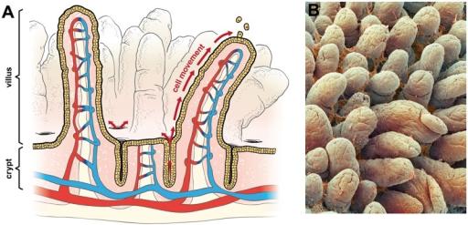 intestinal structure: (a) diagram of small intestine sh | open-i, Human Body