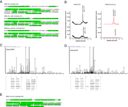 Mass spectrometric analysis of PRMT6 arginine methylated residues. Following in vitro and in vivo methylation, methylated arginine residues in recombinant PRMT6 were mapped by LC-MS/MS. (A) Percent coverage obtained for PRMT6 WT (−/+ SAM) and the PRMT6 KLA mutant. Recombinant PRMT6 was digested with Trypsin in an ammonium bicarbonate buffer and peptides were separated onto a C18 column and sequenced by LC-MS (Methods). To evaluate trace amounts of dimethylated arginine in mutated protein, a 10 fold concentrated peptide solution was injected. Percentages coverage for PRMT6, PRMT6 + SAM and the PRMT6 mutant were 44%, 57%, and 52%, respectively (highlighted in green). Dimethylated arginine was identified only with PRMT6 WT +/− SAM (R29; R35; R37). Dimethylated residues are represented with an (*) above the residue. (B) To evaluate the percentage of dimethylated arginine on PRMT6, ions corresponding to EAALERPR (m/z 471.26) and EAALER*PR (m/z 485.27) were extracted. Dimethylation was only observed in the WT protein and in the WT protein + SAM (not shown). There was no detectable signal at m/z 485.27 in the PRMT6 KLA mutant even when used at 10-fold the WT protein concentration. Areas under the curve (AUC) were studied for both peptides from the PRMT6 WT protein; assuming no differences in ionization efficiency, the methylated protein apparently represents 10 to 20% of total protein. MS/MS spectra observed for the methylated (C) EAALERPR and non-methylated (D) peptide of wild type PRMT6. Observed ions are indicated in bold. (E)In vivo methylation assays were performed in HeLa cells with transfected myc-tagged PRMT6. Samples were digested and processed as described for the in vitro methylation assays. The percent coverage for PRMT6-WT was 63% (highlighted in green). Dimethylated arginines were identified for residues R29, R35, R38, R39 and R82, and are represented with an (*). Amino acids mutated in PRMT6-KLA are indicated by enlarged letters.