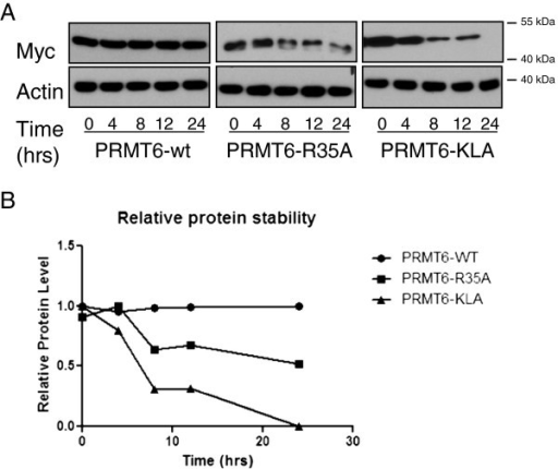 PRMT6-R35A is less stable than PRMT6-WT. (A) Western blots for Myc-PRMT6-WT, PRMT6-R35A and PRMT6-KLA, following treatment with CHX (upper panels). Actin was used as a loading control (lower panels). 15 μg of protein from whole cell extract were loaded into each well. (B) Densitometric analysis of Myc-PRMT6-WT and -R35A degradation over time following the addition of CHX. Myc expression was normalized to levels of actin. Each experiment was performed three times with similar results obtained each time; a representative blot is shown.