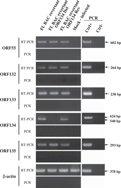 Transcriptional analysis of CyHV-3 ORF134 genome region. CCB cells were infected with the indicated recombinant strains at a MOI of 0.5 PFU/cell. Twenty-four hours post-infection, expression of CyHV-3 ORF55, ORF132, ORF133, ORF134, ORF135 and carp β-actin was studied by the RT-PCR approach described in the Materials and methods. On the left RT-PCR or PCR represent PCR products generated when the RT was performed or omitted from the reactions, respectively. On the right, control PCR reactions were performed using genomic DNA as template (Ctrl+) or no template (Ctrl-).