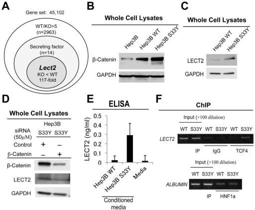 Regulation of LECT2 expression by β-catenin.A. Strategy to identify biomarker for β-catenin activation. Microarray analysis was performed using liver tissue from hepatocyte-specific β-catenin knockout (KO) and wild-type (WT) mice, which identified 14 secreted targets. Lect2 expression was 117-fold lower in KO livers. B. β-Catenin expression in Hep3B cells and stable cell lines established with wild-type β-catenin (Hep3B WT)- or mutated β-catenin (Hep3B S33Y)-transfected cells. C. Representative Western blot shows increased LECT2 protein levels in Hep3B S33Y cells as compared to Hep3B WT. D. Hep3B S33Y cells transfected with either β-catenin or control siRNA showed decreased β-catenin and LECT2 protein levels in a representative Western blot. E. Increased LECT2 protein levels were observed in culture media collected from Hep3B S33Y cells as compared to Hep3B WT as analyzed by ELISA. Basal media was used as a negative control. F. Occupation of Lect2 promoter by TCF4 especially in Hep3B S33Y cells was as assessed by ChIP. Albumin promoter is not regulated by β-catenin but by HNF1α, which is used as quality control for chromatin.