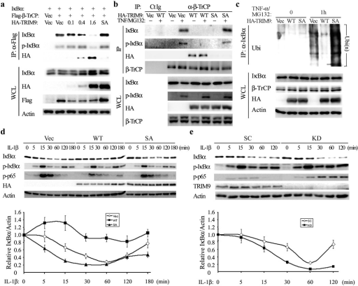 TRIM9 competes with IκBα for β-TrCP binding and thereby blocks IκBα degradation(a) At 48h post transfection with Flag-β-TrCP and increasing amounts of HA-TRIM9 (µg) or HA-TRIM9 SA mutant, HEK293T cell lysates were used for IP with anti-Flag, followed by IB with anti-IκBα, anti-phospho-specific IκBα, or anti-HA antibody. HA-TRIM9 SA mutant was included as a control. (b) HEK293T-HA-TRIM9 or HA-SA mutant cells were treated with TNF-α and 25 µM MG132 for 1h and cell lysates were used for IP and IB with indicated antibodies. (c) HEK293T cells expressing Vector, HA-TRIM9 WT or the SA mutant were used for IP with anti-IκBα, followed by IB with anti-ubiquitin (Ubi) or anti-β-TrCP antibody. (d and e) SK-N-AS cells expressing HA-TRIM9 WT or the SA mutant (d) or carrying lentivirus containing scrambled shRNA (SC) or TRIM9-specific shRNA (KD) (e) were stimulated with IL-1 β for the indicated times, followed by IB with the indicated antibodies. The IκBα and Actin bands were quantified and the relative IκBα/Actin ratios were used to demonstrate the degradation rate of IκBα (bottom panel).The data are representative of three independent experiments.