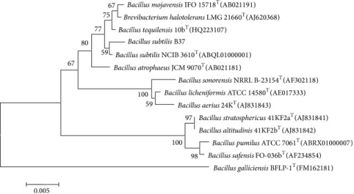 "A neighbor-joining phylogenetic dendrogram based on 16S rRNA gene sequences showing the position of strain B37 among members of the genus Bacillus species. Numbers on branch nodes are percentage bootstrap values (100 resamplings). The ""T"" in the figure means ""type strain."""
