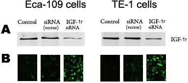 Transfection efficiency ofIGF-1rsiRNAin vitro. (A)IGF-1r protein expression was analyzed by Western blotting after transfection with IGF-1r siRNA for 72 hours in TE-1 and Eca-109 cells. (B) The transfection efficiency of IGF-1r siRNA was observed by fluorescence microscopy after 72 hours in TE-1 and Eca-109 cells. β-actin was used as a loading control.