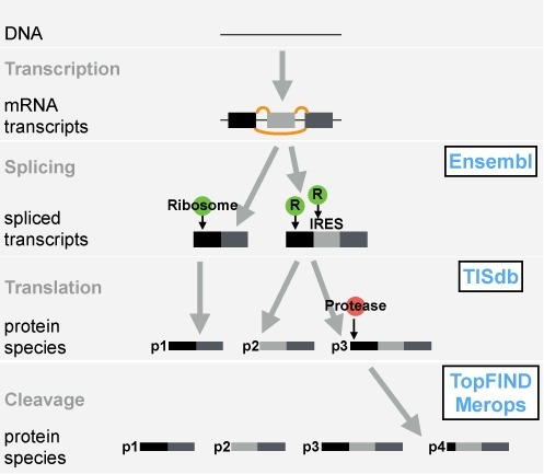 Biological processes leading to differences in termini in proteins and databases containing corresponding information.