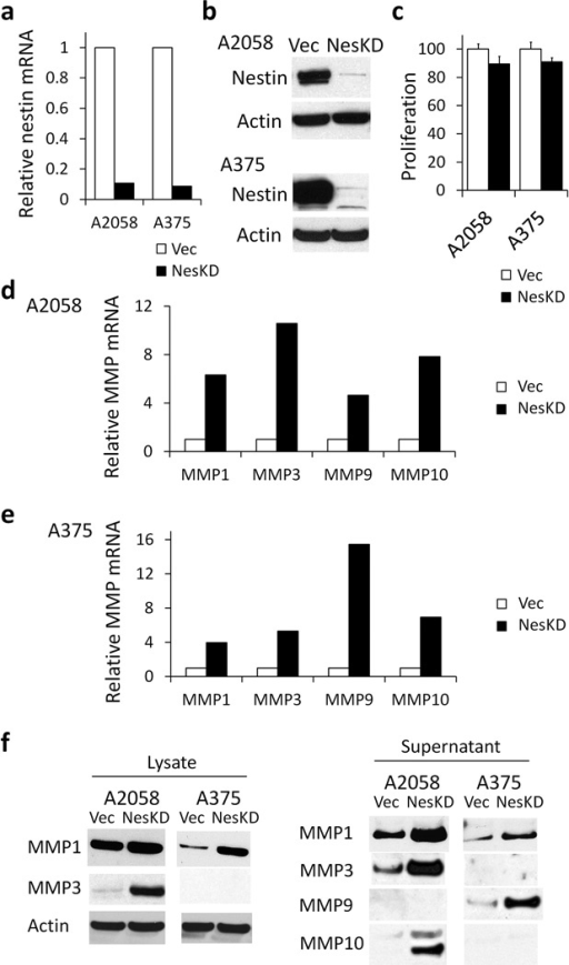 Nestin affects melanoma MMP expression(a) Nestin mRNA levels were significantly down-regulated in nestin KD cells (NesKD, black bars) of A2058 (90% decrease) and A375 (91% decrease,), as compared to vector control cells (Vec, white bars). (b) Decreased nestin protein levels were confirmed in nestin KD A2058 (92.7% decrease) and A375 (97.7% decrease) cells as compared to vector control cells by Western blot. (c) Nestin KD did not significantly alter cell proliferation in A2058 and A375 cells. (d) Compared to A2058 Vector control cells (white bars), A2058 Nestin KD cells (black bars) had significantly higher mRNA levels of MMP1, MMP3, MMP9, and MMP10. e) Compared to A375 Vector control cells (white bars), A375 Nestin KD cells (black bars) had significantly higher mRNA levels of MMP1, MMP3, MMP9, and MMP10. (f) Western blot confirmed that A2058 Nestin KD cells had marked higher protein levels of MMP1 (3.2-fold) and MMP3 (31.2-fold) in cell lysate and secreted MMP1 (3.0-fold), MMP3 (19.9-fold), and MMP10 (60.7-fold) in supernatant. MMP9 protein in supernatant of A2058 cells was below detection limit of immunoblotting. A375 Nestin KD cells had marked higher protein levels of MMP1 (7.3-fold) in cell lysate and secreted MMP1 (4.4-fold) and MMP9 (11.1-fold) in supernatant. MMP3 protein in cell lysate and supernatant of A375 cells were below detection limit of immunoblotting. MMP9 and MMP10 proteins in cell lysate of A2058 and A375 cells were below detection limits of immunoblotting and thus data was not shown.