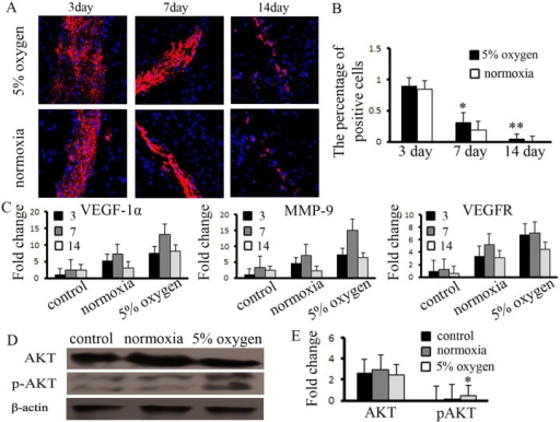 Hypoxia pretreatment promoted the function of BM-MSCs in ischemic muscle.(A) Hypoxia pretreatment of BM-MSCs increased the capacity for survival in ischemic muscle, compared to the normoxia group, (B) and the number of positive cells was measured. *, ** indicate P<0.05, 0.01 versus normoxia group, respectively. (C) The expression of VEGF-1α, MMP-9, and VEGFR was increased in hypoxia-pretreated BM-MSCs, and (D, E) the expression of pAKT was significantly enhanced, compared to the control group. * indicates P<0.05 versus control group.