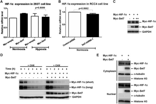 Set7 has no effect on mRNA level, protein level and nuclear translocation of HIF-1α. (A) Under hypoxia condition, overexpression of Set7 had no effect on HIF-1α mRNA level in HEK293T cells. (B) In RCC4 cells, knockdown of Set7 by Set7-shRNA-1 has no effect on HIF-1α mRNA level. (C) Overexpression of Set7 had no obvious effect on HIF-1α protein level in HEK293T cells. (D) The protein level of HIF-1α was not affected by overexpression of Set7 in HEK293T cells in the presence of CHX (50 μg/ml). Short, shorter exposure; long, longer exposure. (E) Overexpression of Set7 did not affect HIF-1α nuclear translocation. α-tubulin detection was used to monitor cytoplasmic protein and Histone H3 detection was used to monitor nuclear protein.