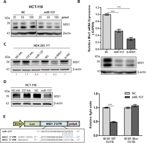 miR-137 negatively regulates MSI1(A) MSI1 protein expression in HCT-116 cells transfected with increasing concentrations of miR-137 mimic as compared to cells transfected with NC mimic. (B) Top, MSI1 mRNA and protein expression analyzed in HCT-116 cells transfected with NC mimic, miR-137 mimic and positive control, MSI1-siRNA. mRNA expression analyzed using qRT-PCR, normalized to GAPDH and set relative to NC transfected cells. Bottom, MSI1 protein analyzed using Western blotting with β-actin as loading control. (C) MSI1 protein expression in HEK-293FT cells transfected with miR-137 antagomiR (137-Inh.), negative control antagomiR (NC-Inh.), miR-137 mimic (miR-137), negative control mimic (NC), MSI1 siRNA (si-MSI1) and a negative control siRNA (si-NC). Intensity of MSI1 protein was normalized to β-actin and set relative to control. Change in MSI1 protein shown in red. (D) MSI1 protein expression in HCT-116 transfected with NC-Inh, miR-137-Inh, NC-mimic and miR-137 mimic. (E) HCT-116 cells were transfected with wild-type (WT) or mutant (mut) pSGG-MSI1 3′UTR luciferase construct with miR-137 or NC mimic. Data are means ± SE; n = 3; *** P < 0.001.