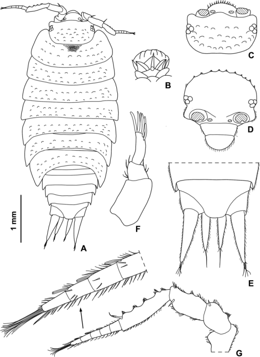 Styloniscusmanuvaka sp. n., ♀ paratype: A adult specimen in dorsal view B dorsal scale-seta C cephalon in dorsal view D cephalon in frontal view E pleonite 5, telson and uropods F antennula G antenna.