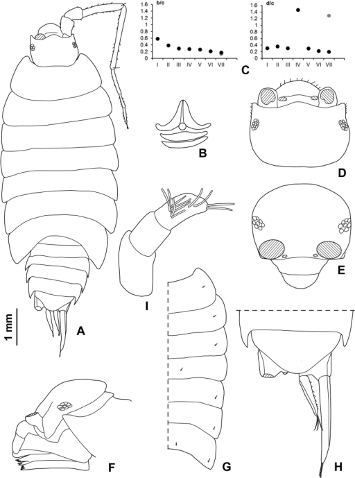 Hawaiiosciarapui sp. n., ♂ holotype: A adult specimen in dorsal view. ♀ paratype: B dorsal scale-seta C co-ordinates of noduli laterales D cephalon in dorsal view E cephalon in frontal view F cephalon in lateral view G pereonites with noduli laterales H pleonite 5, telson and uropods I antennula.