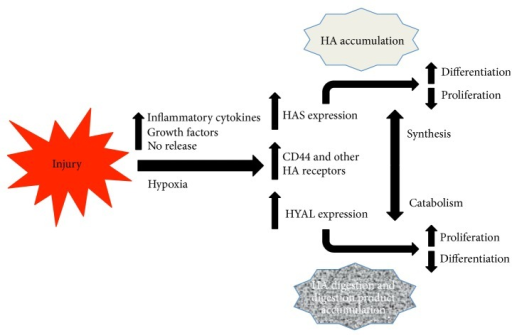 HA synthases, HA receptors, and hyaluronidases are transcriptionally upregulated in response to injury by inflammatory mediators and other injury-induced mediators. As a result, HA increases in injured tissues but also is digested. The balance between HA synthesis and catabolism influences cellular behaviors, such as proliferation and differentiation, either by influencing signals induced by high molecular weight HA or due to the accumulation of HA digestion products that have their own biological activities.