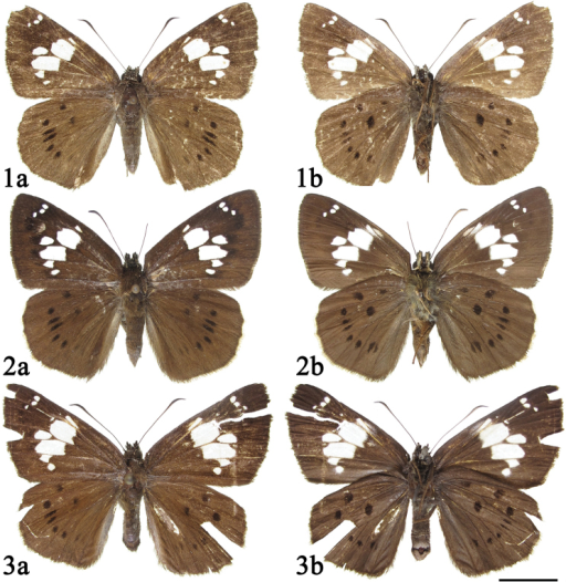 Adults of Coladeniabuchananiiseparafasciata Xue, Inayoshi & Hu, ssp. n. 1–2 male 3 female a dorsal side b ventral side. Scale bar: 1 cm.
