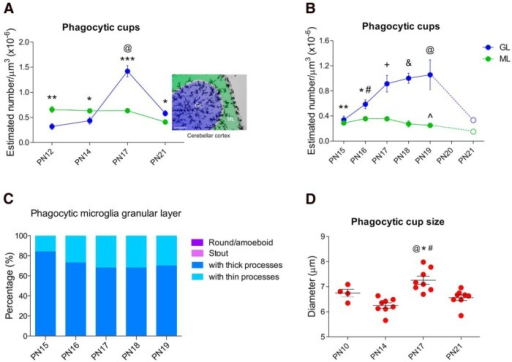 Frequency of phagocytosis by microglia changes by location in the cerebellar cortex across development. A, The density of phagocytic cups was higher in the ML than the GL at P12 (**p < 0.01), and P14 (*p < 0.05), but switched at P17 (***p < 0.000) and P21 (*p < 0.05), so that the GL exhibited more phagocytic cups than the ML. The highest density of phagocytic cups was found in the GL at P17 compared with P12, P14, and P21 (@p < 0.000). Scale bar, 100 µm. B, Proportion of microglia that exhibited phagocytic cups in the GL at P17: 67% of all phagocytic microglia had thick processes and 33% had thin processes. No round/amoeboid or stout microglia showed phagocytic cups. C, A difference in the density of phagocytic cups was found at younger ages (P15, **p = 0.003; P16, *p = 0.05) compared with P17, but no significant differences were found at older ages (P18, p = 0.583; P19, p = 0.615). In contrast, in the ML, the density of phagocytic cups was lower only at P19 (^p = 0.043) compared with P17. Additionally, a difference in the density of phagocytic cups between the GL and ML was found from P16 to P19 (P16, #p < 0.000; P17; +p < 0.000; P18, &p < 0.000; P19, @p < 0.000) but not at P15 (p = 0.467) (n = 6, 3 males + 3 females for each group for A, B, and C). In this experiment the density of phagocytic cups was not counted in animals at P21 but the dashed lines depict the pattern previously observed at the end of the third postnatal week in both the GL and ML (Fig. 5A). D, The diameter of microglial phagocytic cups was bigger on P17 compared with P10 (@p = 0.06; see effect size estimation in Table 2), P14 (*p < 0.000) and P21 (#p = 0.003). All data are expressed as mean ± SEM (^n = 4, 2 males + 2 females; *n = 8, 4 males + 4 females: ^P10, *P14, *P17, and *P21).
