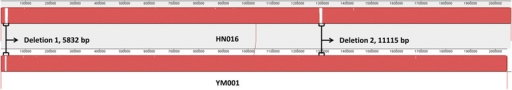 Whole genome alignment between S. agalactiae HN016 and YM001. The genomes of HN016 and YM001 were compared with each other using progressive MAUVE with default parameters. The colinearity of the genomes and the two deletions between HN016 and YM001 are shown