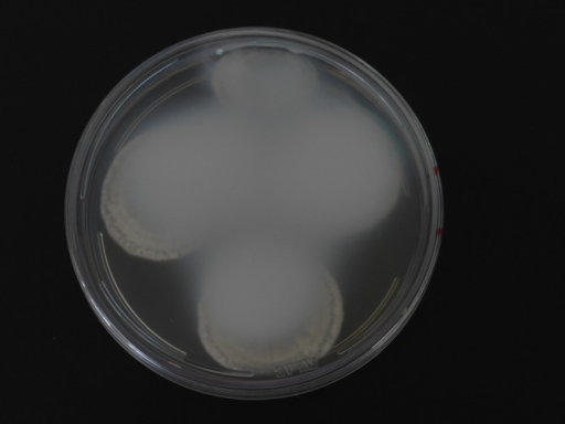 Plate of Czapek yeast extract agar (CYA) with Penicillium excelsum, opaqueness of petri dish lid after 7 days of incubation at 25°C.