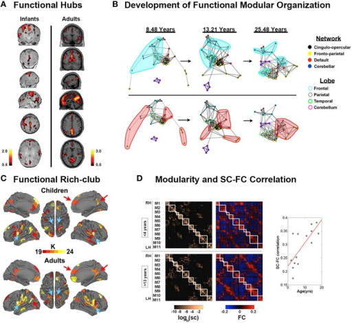 Development of functional connectomes. (A) Distribution of hub regions in the functional networks of infants and adults based on degree centrality. In infants, the majority of cortical hubs were located in the homomodal cortex, mostly in the auditory, visual, and sensorimotor areas, and to a lesser extent in the PFC. Prominent locations for hubs in adults included the precuneus/posterior cingulate cortex, medial PFC, anterior cingulate cortex, bilateral parietal lobule, and bilateral insula. Adapted from Fransson et al. (2011). (B) The figure showed the dynamic development of the default network, and cerebellar network using spring embedding. The figure highlights the segregation of local, anatomically clustered regions, and the integration of functional networks over development. Nodes are color coded by their adult network profile (core of the nodes) and by their anatomical location (node outlines). Connections with r > 0.1 were considered connected. Adapted from Fair et al. (2009). (C) The functional rich-club organizations in children and adults. Although many regions overlap (red arrows, for example), there are bilateral regions that appear only in adults (blue arrows, for example). Adapted from Grayson et al. (2014). (D) Modularity and SC–FC correlation. Cortical SC and FC matrices averaged over the younger (<4 years) and older (>13 years) age group. Structural modules are delineated by the superimposed white grid. Eleven modules (M1–M6 in the right hemisphere, M7–M11 in the left hemisphere) were identified, and the two sets of SC and FC matrices are displayed such that modules correspondence across age is maximized. Although modules are highly conserved (normalized mutual information = 0.82), there is a notable increase in SC–FC correspondence from younger to older brains. There is an increasing statistically significant relationship between SC and FC across age (R = 0.74, p < 0.005). Adapted from Hagmann et al. (2010).