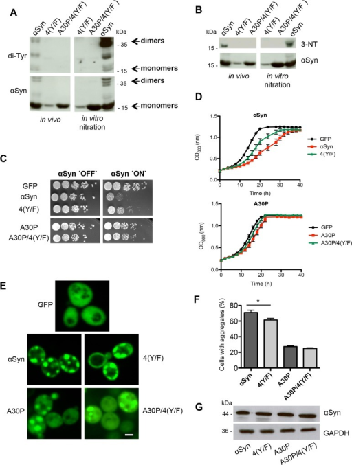 Blocking of αSyn tyrosine nitration decreases aggregation and cytotoxicity.(A) Expression of αSyn, A30P, 4(Y/F) and A30P/4(Y/F) αSyn was induced for 12 h in galactose-containing medium and the proteins were enriched by Ni2+ pull-down from yeast cell extracts. For in vitro nitration, 1 μl peroxynitrite (PON) was mixed with 15 μg of αSyn extracts in the presence of 1 μl 0.3 M HCl. Western blotting with di-tyrosine antibody reveals a major band at about 36 kDa, corresponding to dimers. Additional bands with lower molecular weights are observed, probably due to intramolecular di-tyrosine crosslinking. The same membrane was stripped and re-probed with αSyn antibody. (B) Western blotting using 3-nitro-tyrosine antibody (3-NT). Phenylalanine codon substitutions eliminate immunoreactivity. The same membrane was stripped and re-probed with αSyn antibody. (C) Spotting analysis of yeast cells expressing GAL1-driven αSyn, A30P, 4(Y/F), A30P/4(Y/F) αSyn and GFP (control). Yeast cells were spotted in 10-fold dilutions on SC-Ura plates containing glucose (αSyn 'OFF') or galactose (αSyn 'ON'). (D) Cell growth analysis of yeast cells expressing αSyn, A30P, 4(Y/F), A30P/4(Y/F) αSyn and GFP (control) in galactose-containing SC-Ura medium for 40 h. Error bars represent standard deviations of three independent experiments. (E) Fluorescence microscopy of yeast cells, expressing indicated αSyn-GFP variants after 6 h of induction in galactose-containing medium. Scale bar: 1 μm. (F) Quantification of the percentage of cells displaying aggregates after 6 h induction in galactose-containing medium. Significance of differences was calculated with t-test (*, p < 0.05, n = 6). (G) Western blotting analysis of protein crude extracts of GFP-tagged αSyn, 4(Y/F), A30P and A30P/4(Y/F) after 6 h induction in galactose-containing medium. GAPDH antibody was used as loading control.
