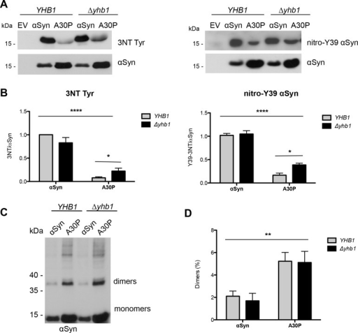 Yhb1 affects nitration but not dimerization of αSyn and A30P.(A) Immunoblotting analysis of 3-nitrotyrosine using 3-nitrotyrosine antibody (left) and nitro-Y39 αSyn antibody (right). Protein expression was induced for 12 h in galactose-containing SC-Ura medium. Concentrated protein extracts of Ni2+ pull down-enriched αSyn and A30P αSyn from YHB1 and Δyhb1 yeast cells were applied. Cells expressing empty vector (EV) served as control. The same membranes were stripped and re-probed with αSyn antibody. (B) Quantification of αSyn and A30P nitration levels in YHB1 and Δyhb1 yeast cells. Densitometric analysis of the immunodetection of nitrated αSyn and A30P relative to the intensity obtained for αSyn. Significance of differences was calculated with one-way ANOVA with Bonferroni's multiple comparison test (*, p < 0.05; ****, p < 0.0001; n = 3). (C) Western blotting of αSyn enriched by Ni2+ pull-down with αSyn antibody. (D) Ratio of dimers relative to the sum of monomers and dimers. Densitometric analysis of the immunodetection of αSyn and A30P αSyn dimers, presented as percent of the total amount of αSyn detected per lane (monomer + dimer). Significance of differences was calculated with one-way ANOVA (**, p < 0.01; n = 4).