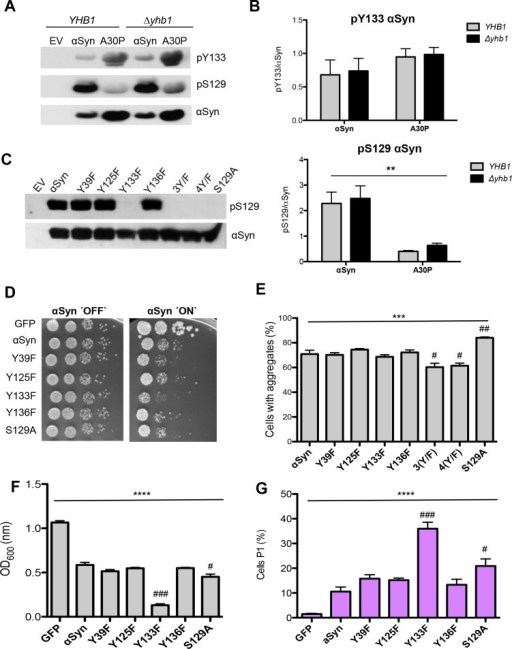 Tyrosine 133 is required for phosphorylation of αSyn at serine 129.(A) Western blotting of αSyn and A30P expressed in YHB1 and Δyhb1 yeast enriched by Ni2+ pull-down, using Y133 phosphorylation-specific αSyn antibody (pY133) and S129 phosphorylation-specific αSyn antibody (pS129). The same membrane was stripped and re-probed with αSyn antibody. (B) Quantification of αSyn and A30P Y133- and S129-phosphorylation levels in YHB1 and Δyhb1 yeast cells. Densitometric analysis of the immunodetection of pY133, pS129 αSyn and A30P relative to the intensity obtained for αSyn. Significance of differences was calculated with one-way ANOVA test (**, p < 0.01; n = 4). (C) Western blotting of crude extracts from yeast cells, expressing different αSyn variants after 6 h induction of protein expression using S129 phosphorylation-specific αSyn antibody (pS129) and αSyn antibody. Cells expressing S129A mutant served as control. (D) Spotting analysis of αSyn and indicated mutant strains, driven by the inducible GAL1-promoter on non-inducing (´OFF`: glucose) and inducing (´ON`: galactose) SC-Ura medium after 3 days. Cells expressing GFP served as control. (E) Quantification of the percentage of cells displaying αSyn aggregates after 6 h induction in galactose-containing SC-Ura medium. Significance of differences was calculated with one-way ANOVA (***, p < 0.001) or Dunnett's multiple comparison test (#, p < 0.05, ##, p < 0.01 versus αSyn; n = 6). (F) Cell growth analysis of cells expressing different αSyn variants and GFP (control) after 20 h induction of expression. Significance of differences was calculated with one-way ANOVA (****, p < 0.0001) or Dunnett's multiple comparison test (#, p < 0.05; ###, p < 0.001, n = 4). (G) Quantification of cells expressing different αSyn variants and GFP (control) displaying Propidium Iodide (PI) fluorescence after 20 h induction of αSyn expression, assessed by flow cytometry. The percentage of PI-positive yeast cells with higher fluorescent intensities (P1) than the background is presented. Significance of differences was calculated with one-way ANOVA (****, p < 0.0001) or Dunnett's multiple comparison test (#, p < 0.05; ###, p < 0.001 versus αSyn; n = 4).