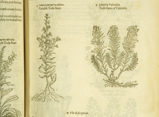 <p>Separate woodcuts of the two plants, showing the stalks, leaves, and roots.</p>