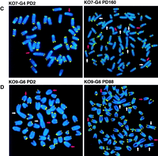 Metaphase spreads from wt and mTER−/− cell lines at  selected PDs. (A) Representative metaphase spreads from wt  cells (Wt14) at the indicated PD. The arrowhead points to a long  chromosome present in all the metaphases analyzed at PD 243.  (B) Metaphase spreads from 1st generation mTER−/− cells,  KO16-G1, at the indicated PDs. Note the weaker telomere fluorescence at PD 215 compared with PD 19. A chromosome with  intrachromosomal TTAGGG signal is indicated with a white arrowhead. (C) Metaphase spreads from 4th generation mTER−/−  cell line, KO7-G4, at the indicated PDs. Note that telomere  fluorescence decreased at PD 159 compared with PD 2. (D)  Metaphase spreads from 6th generation mTER−/− cell line, KO9-G6. Note the strong heterogeneity in telomere fluorescence. Red  arrows, chromosomal ends lacking detectable telomere fluorescence. White arrows, end-to-end fusions. These are representative images from individual metaphase spreads after FISH showing fluorescent spots on telomeres for illustration purpose only.