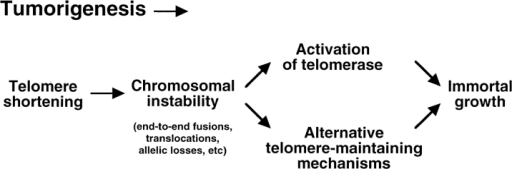 Model of telomere dynamics and chromosomal instability during tumor progression. Telomere shortening could occur during the initial stages of tumor progression if cells divide in  the absence of compensating telomere lengthening mechanisms.  Telomere shortening to a critical length eventually triggers chromosomal instability as described in this paper. At this point, telomere maintenance mechanisms can be activated and selected to  allow immortal growth. The preferred mechanism to maintain  telomeres in tumor cells is the activation of the enzyme telomerase (reviewed in Shay and Bacchetti, 1996). However, the results shown in this paper indicate that in the absence of telomerase activity alternative telomere-maintaining mechanisms are  activated as a consequence telomere shortening.