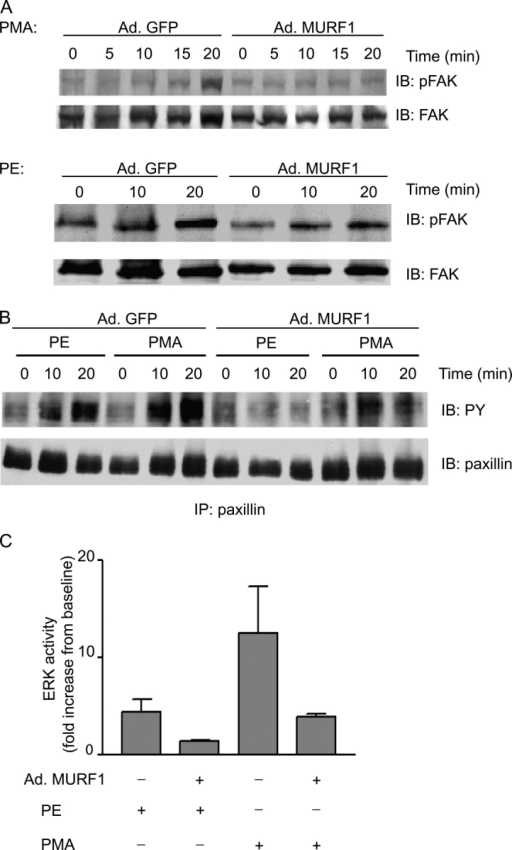 Effects of MURF1 on components of the FAK signaling pathway. (A) NRVM were infected with Ad.GFP or Ad.MURF1 for 24 h followed by induction with PE or PMA. NRVM lysates were separated by SDS-PAGE. Blots were incubated with anti-pFAK (397Y) antibody and anti-FAK antibody (loading control). (B) NRVM cell lysates treated as in A were immunoprecipitated with anti-paxillin antibody followed by immunoblotting with anti-phosphotyrosine (PY) antibody. (C) To test for activation of MAP kinase signaling, NRVM cell lysates were analyzed by Western blotting with anti-pERK antibody and anti-ERK antibody (loading control). The cumulative results are presented as fold increase in ERK activity from basal level ± SEM.
