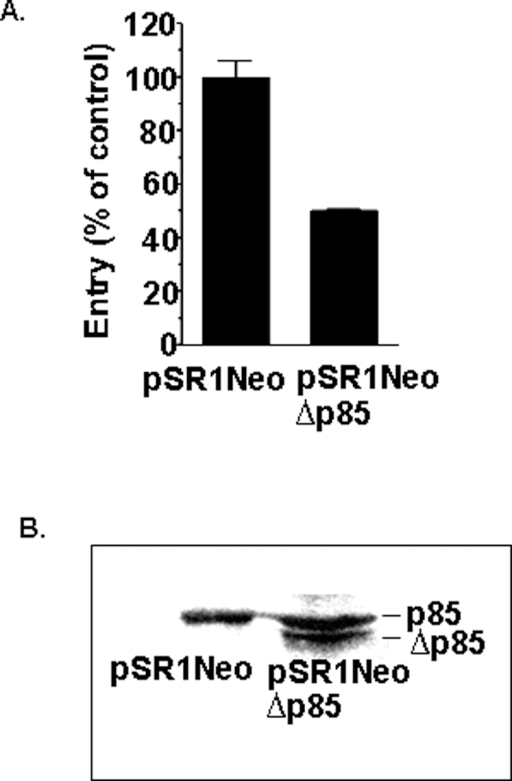 Overexpression of PI3K mutant protein ablates L. pneumophila entry.Entry by L. pneumophila into J774A.1 macrophages expressing the p85α mutant PI3K (pSR1NeoΔp85) and containing vector alone (pSR1Neo) after 1 hour co-incubation (A). Western analysis using antibody against the PI3K p85 α subunit, demonstrating Δp85 expression in transfected macrophages (B). Macrophage lysates were immunoprecipitated with anti-p85α and run on SDS/PAGE followed by Western blot analysis. Entry into macrophages carrying the vector alone was arbitrarily set to 100%. Data are the means+/−SEM for assays done in duplicate. Similar results were obtained in at least two independent experiments.