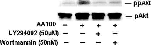L. pneumophila infection stimulates PI3K-dependent phosphorylation of Akt.Macrophages were treated or not treated with PI3K inhibitors and infected with L. pneumophila for 15 min. Lysates were prepared and Ser473 phospho Akt (activated) detected by Western blot analysis (ppAkt). The membrane was stripped and re-probed with antibody against total cellular Akt, which is normally phosphorylated at a single position (pAkt). Similar results were obtained in at least two independent experiments.