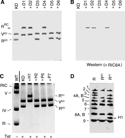 Assembly competence of RIC8A mutants in vitro. (A and C) BN PAGE of RIC8A-knockdown complex (KD) reconstituted with indicated mutant proteins. WT, complexes from uninduced cells, Coomassie stain. (B) Western blot of gel run in parallel to (A), probed with anti-RIC8A antiserum (1:50). The amount of protein loaded on this gel was about one-third that in (A). RKD, knockdown RIC subcomplex; VKD, complex V from KD cells; RRC, reconstituted RIC. (D) SDS–PAGE profile of RKD and RRC (H1) (RIC reconstituted with H1 protein), compared to wild-type RIC (R). RIC subunits are numbered as in ref. 9.
