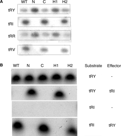 Effect of expressing RIC8A derivatives on tRNA import. (A) Nucleus-encoded mitochondrial tRNAs in normal (WT) or mutant RIC8A-expressing cells. Northern blot of mitochondrial RNA (5 × 106 cell-equivalents) probed with antisense oligonucleotides complementary to the indicated tRNAs: tR(X), tRNA specific for amino acid X (single-letter code). (B) Import of indicated 32P-labeled substrates, in the presence or absence of low-specific-activity effector, into liposomes reconstituted with extracts from RIC8A derivative-expressing cells (RNase protection assay).