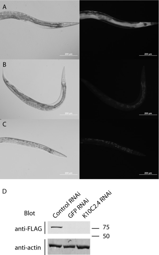 Generation of transgenic animals with modified fosmids. The modified fosmid carrying the K10C2.4:FLAG-GFP transgene was introduced into the DP38 (unc-119(ed3)) strain via microparticle bombardment. (A) GFP expression seen in the transgenic worms. (B and C) GFP expression is reduced by treatment with GFP (B) or K10C2.4 (C) RNAi. (D) Detection of the FLAG-GFP transgene in RNAi treated worm extracts by western blotting with anti-FLAG antibodies. Equal loading was confirmed by blotting with anti-actin antibodies.