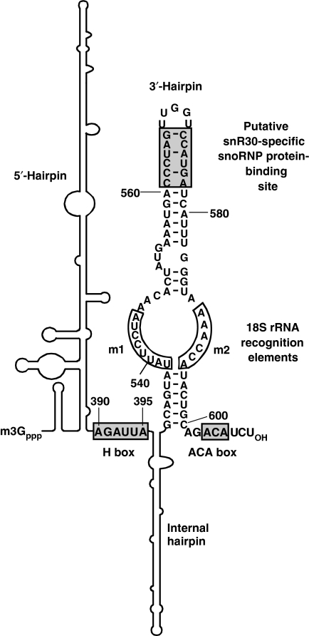 Functionally essential elements of yeast snR30. The 5′-terminal and internal hairpins (shown schematically) lack functionally important elements (Atzorn et al, 2004). Sequences binding either box H/ACA or snR30-specific proteins are in shaded boxes. The m1 and m2 18S recognition sequences are in open boxes.