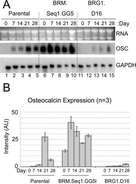 Regulation of osteocalcin expression in BRM- and BRG1-depleted lines. A, parental and knockdown lines were cultured in differentiation medium; total RNA was isolated at days 0, 7, 14, 21, and 28, as indicated, and analyzed by Northern blotting with sequentially applied probes for osteocalcin (OSC) and glyceraldehyde-3-phosphate dehydrogenase (GAPDH). Seq, sequence. B, Northern blot analysis from three independent experiments was quantified by phosphoimaging, normalized to glyceraldehyde-3-phosphate dehydrogenase signals, averaged, and plotted as arbitrary units (AU) of phosphoimaging values. Error bars indicate the average deviation from the mean.