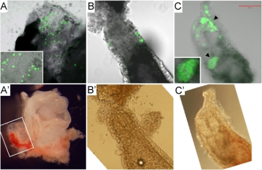 Contributions of rat XEN-P cell lines to postimplantation embryos.Representative fluorescence (A–C) and bright field (A'–C') photographs demonstrating in vivo contributions of microinjected rat cells to (A, A') parietal yolk sac of an 11.5 dpc rat conceptus (inset showing magnification); (B, B') visceral endoderm of an 8.5 dpc rat conceptus; (C, C') visceral endoderm (arrowheads; one patch magnified in inset) of an ∼7 dpc mouse conceptus. Pregnancy timing is distorted by the embryo manipulations and therefore only approximate.