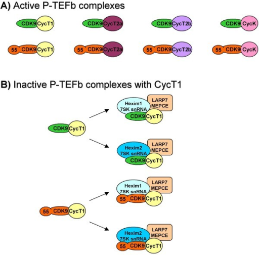 Active and inactive P-TEFb complexes. A) Active P-TEFb complexes. CDK942 (green oval) and CDK955 (orange oval) can separately bind to individual CycT1 (yellow circle), CycT2a (violet oval), CycT2b (lavender oval) and CycK (pink oval). B) Inactive P-TEFb complexes with CycT1. Only large complexes with CycT1 are presented for illustration, but the same would apply for CycT2a, CycT2b and CycK too. Complexes of 42- and CDK955 with CycT1 are presented at the left side. 'Large' complexes consisting of CDK9/CycT1 are at the right side. Hexim1/7SK snRNA (light blue oval), Hexim2/7SK snRNA (turquoise blue oval), MEPCE/LARP7 (light orange oval).