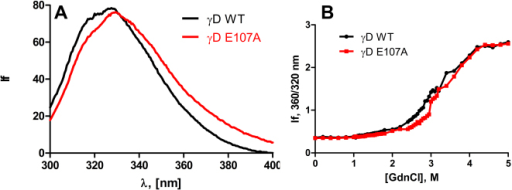 Wild type and E107A mutant differ very little in their surface exposure of apolar residues and in their structural stability. A: Intrinsic fluorescence of wild-type and E107A mutant HGDC. The protein concentrations used were 10 μM (0.2 mg/ml) in MOPS buffer, pH 7.3, cell path length 2 mm, and spectra were recorded at room temperature, using an excitation wavelength of 295 nm, with 2.5 nm slits. B: Guanidinium chloride–induced denaturation of wild-type and E107A HGDC. The relative emission intensity of the 360 nm band (of the denatured form) was compared to that of the 320 nm band (of the native protein) and monitored as a function of denaturant concentration.