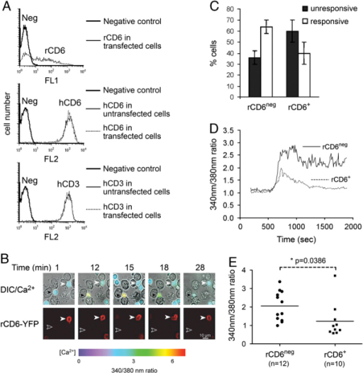 CD6 decreases the amplitude of Ca2+ responses. (A) Cytometric analysis of ex vivo human T cells transfected with an rCD6-YFP vector. Live cells were gated based on the Forward Scatter (FSC) and Side Scatter (SSC) profiles. The expression of rCD6 is indicated by a thin line (upper panel) and the negative control is shown (in all panels) as a thick line. Expression of hCD6, (middle panel), and human CD3 (hCD3, lower panel) is shown before (thin line) and after transfection (dashed line) of T cells with the vector. (B) Raji cells preincubated with sAg interacted with Fura-2 loaded T lymphocytes transfected with a cDNA construct encoding rCD6-YFP. Time-lapse video imaging with 20× magnification showing superimposed differential interference contrast (DIC) and calcium signals (upper panel) and rCD6 expression (lower panel) on one rCD6− T cells (black arrow) and one rCD6+ T cell (white arrow), interacting with APCs in the same field. Scale bar=10 μm. (C) Percentage of rCD6− or rCD6+ T cells that increase (ratio >1.5) or not their calcium after conjugate formation with sAg-pulsed Raji cells. Bars represent the mean (±SD) values of three separate experiments with at least 30 individual cells analyzed in each. (D) Intracellular calcium was measured sequentially every 10 s in T cells interacting with sAg-pulsed Raji cells. Calcium was measured for T cells expressing (dashed line) or not (solid line) rCD6-YFP. Calcium signals were averaged from individual responses of all the cells in each set. Results are from one of the three experiments showing similar results. (E) Dot plots showing maximal calcium signals obtained in individual cells following stimulation by sAg-loaded Raji cells. Each dot represents one cell. Horizontal lines indicate mean values [rCD6− (n=12); rCD6+ (n=10)]. The probability that the Ca2+ signals of rCD6+ T cells in response to sAg stimulation were similar to those of rCD6− T cells was assessed using Students t-test (p=0.038).