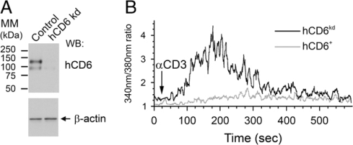 Expression of hCD6 downregulates calcium signals. (A) Purified human primary T lymphocytes were treated with specific hCD6 MOs to suppress endogenous hCD6 expression (hCD6 kd), or with control scramble morpholinos (Control). Knockdown of hCD6 was evaluated by Western blot of cell lysates, using β-actin as a loading control. Numbers on the left indicate molecular mass markers (MM) in kilodaltons (kDa). (B) Cells were incubated with calcium indicators and after stimulation with CD3 mAb (OKT3), cells expressing hCD6+ (grey line) and cells where hCD6 was knocked down (hCD6kd, black line) were evaluated for calcium mobilization by cytometry. Data are shown from one out of the three experiments with similar results.