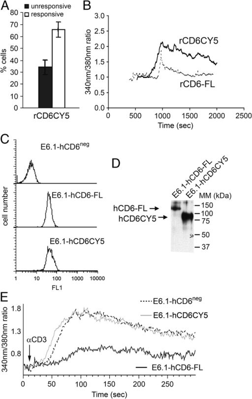The inhibitory role of CD6 is dependent on its cytoplasmic domain. (A) Percentage of calcium responsive (ratio >1.5) or unresponsive (ratio <1.5) T cells expressing a rCD6 cytoplasmic deletion mutant (rCD6CY5-YFP), after conjugate formation with sAg-pulsed Raji cells. Bars represent the mean (±SD) values of three separate experiments with at least 30 individual cells analyzed in each. (B) Calcium signals were acquired sequentially every 10 s from rCD6CY5-YFP T cells (solid line) versus rCD6+ T cells (expressing full-length rCD6, dashed line), interacting with sAg-pulsed Raji cells. Averaged responses were determined from 15 rCD6+ T cells and 10 rCD6CY5-expressing T cells interacting with sAg-loaded Raji cells. Results are from one of two experiments, both gave similar results. (C) Surface expression of hCD6 in untreated E6.1 Jurkat cells (top), in Jurkat cells following transfection with a cDNA construct encoding full-length hCD6 (hCD6-FL) (middle), and in Jurkat cells following transfection with a cDNA construct encoding a cytoplasmatic deletion mutant of hCD6 (hCD6CY5) (bottom). Live cells were gated based on the FSC and SSC profiles. (D) E6.1-hCD6-FL and E6.1-hCD6CY5 cells were cell-surface biotinylated, lysed in detergent, and CD6 species were immunoprecipitated using MEM-98 mAb and run on SDS-PAGE. (E) E6.1 Jurkat cells expressing hCD6-FL (black lines) or hCD6CY5 (gray lines), and CD6− cells (dashed lines) were preincubated with the calcium indicators Fluo-3 and Fura-red and, upon anti-CD3 stimulation, total intracellular calcium levels were monitored by cytometry during 5 min. Results are from one of three experiments, all gave similar results.