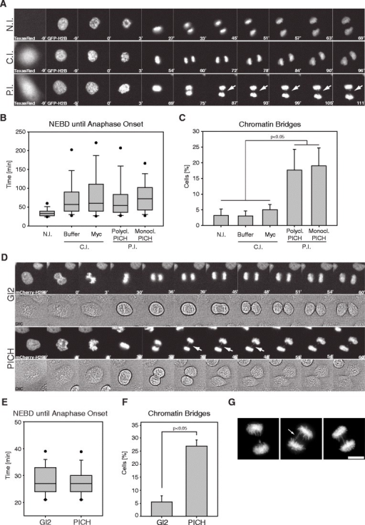 Anti-PICH antibody injection or siRNA-mediated PICH depletion causes anaphase chromatin bridges. a Representative stills of time-lapse videos showing HeLaS3 cells stably expressing histone 2B-GFP, after antibody microinjection (N.I. non-injected, C.I. control injected (buffer or Myc mAb), P.I. PICH injected (polyclonal or monoclonal antibodies)). TexasRed signal identifies microinjected cells. T = 0 was set at nuclear envelope breakdown (NEBD) and numbers indicate elapsed time (minutes). Arrows indicate chromatin bridge formation. bBox-and-whisker plot showing elapsed time (minutes) from NEBD to anaphase onset for individual microinjected cells. Analyses were performed on >120 cells per condition, over three independent experiments. Lower and upper whiskers represent 10th and 90th percentiles, respectively. cBar graph showing the percentage of chromatin bridges after microinjection of the indicated antibodies. Analyses were performed on >120 cells per condition, over three independent experiments. Student's t test revealed significance at p < 0.05. d Representative stills of time-lapse videos showing HeLaS3 cells stably expressing histone 2B-mCherry after transfection with the Gl2 (control) and PICH-directed siRNA oligonucleotides. T = 0 was set at NEBD and numbers indicate elapsed time (minutes). Arrows indicate chromatin bridge formation. eBox-and-whisker plot showing elapsed time (minutes) from NEBD to anaphase onset for individual siRNA-transfected cells. Analyses were performed on >120 cells per condition, over three independent experiments. Lower and upper whiskers represent 10th and 90th percentiles, respectively. fBar graph showing the percentage of chromatin bridges after the indicated siRNA transfections. Analyses were performed on >120 cells per condition, over three independent experiments. Student's t test revealed significance at p < 0.05. g Representative images of PTEMF fixed HeLaS3 anaphase cells, revealing typical chromatin bridges after PICH knockdown. Cells were stained for DNA with 4′-6-diamidino-2-phenylindole (DAPI). Scale bar represents 10 μm